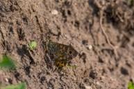 Mūru samtenis. Lasiommata megera. Wall.