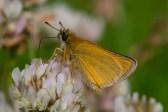 Melnūsainais pļavas resngalvītis. Thymelicus lineola. Essex Skipper.