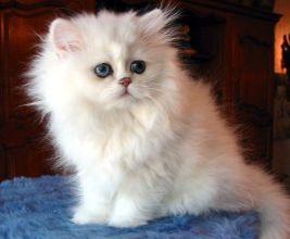 gato-persa-blanco