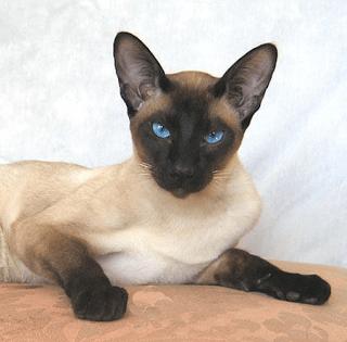 historia-gatos-siameses