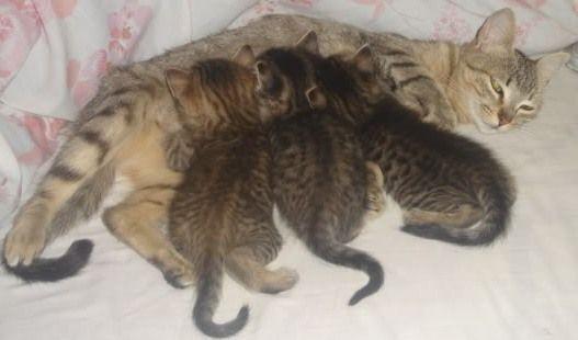 Alimentación para gatas lactantes