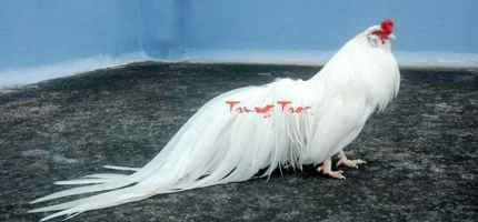 Trại gà tre Tân Châu tại bắc ninh Giới thiệu