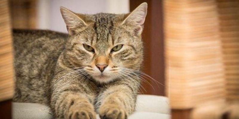 Artrosis gatos