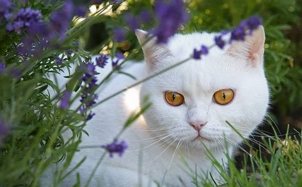 Gato y Lavanda Hidrolatoterapia