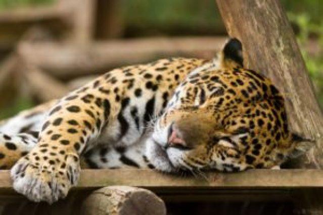 Giaguaro dorme