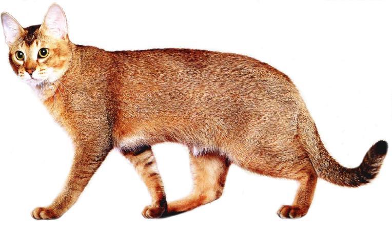 "orange- chausie-cat-breed ""width ="" 600 ""height ="" 357 ""srcset ="" https://i2.wp.com/gattoblog.it/wp-content/uploads/2018/01/1517327275_195_razze-di-gatti-arancioni.jpg?w=1170 764w, http: //purrfectcatbreeds.com/wp-content/uploads/2016/06/orange-chausie-cat-breed-300x179.jpg 300w, http://purrfectcatbreeds.com/wp-content/uploads/2016/06/orange-chausie -cat-breed-767x457.jpg 767w, http://purrfectcatbreeds.com/wp-content/uploads/2016/06/orange-chausie-cat-breed-1024x610.jpg 1024w, http://purrfectcatbreeds.com/wp -content / uploads / 2016/06 / orange-chausie-cat-breed-765x455.jpg 765w, http://purrfectcatbreeds.com/wp-content/uploads/2016/06/orange-chausie-cat-breed-370x220. jpg 370w ""sizes ="" (larghezza massima: 600px) 100vw, 600px"