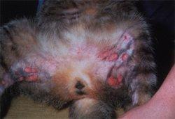 granuloma-cosce-gatto
