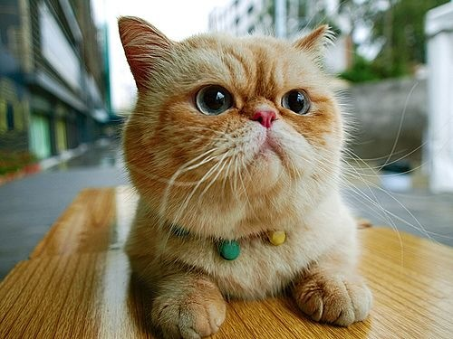 "orange-exotic-shorthair-cat-breed ""srcset ="" http://purrfectcatbreeds.com/wp-content/ caricamenti / 2016/06 / orange-exotic-shorthair-cat-breed.jpeg 500w, http://purrfectcatbreeds.com/wp-content/uploads/2016/06/orange-exotic-shorthair-cat-breed-300x225.jpeg 300w, http://purrfectcatbreeds.com/wp-content/uploads/2016/06/orange-exotic-shorthair-cat-breed-768x576.jpeg 768w, http://purrfectcatbreeds.com/wp-content/uploads/2016 /06/orange-exotic-shorthair-cat-breed-1024x768.jpeg 1024w, http://purrfectcatbreeds.com/wp-content/uploads/2016/06/orange-exotic-shorthair-cat-breed-765x573.jpeg 765w ""sizes ="" (larghezza massima: 500px) 100vw, 500px"