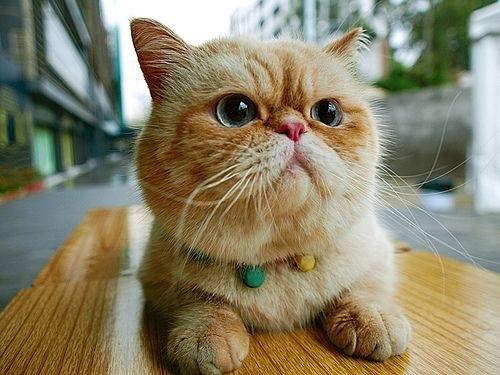 "orange-exotic-shorthair-cat-breed ""srcset ="" http://purrfectcatbreeds.com/wp-content/ caricamenti / 2016/06 / orange-exotic-shorthair-cat-breed.jpeg 500w, http://purrfectcatbreeds.com/wp-content/uploads/2016/06/orange-exotic-shorthair-cat-breed-300x225.jpeg 300w, http://purrfectcatbreeds.com/wp-content/uploads/2016/06/orange-exotic-shorthair-cat-breed-768x576.jpeg 768w, http://purrfectcatbreeds.com/wp-content/uploads/2016 /06/orange-exotic-shorthair-cat-breed-1024x768.jpeg 1024w, http://purrfectcatbreeds.com/wp-content/uploads/2016/06/orange-exotic-shorthair-cat-breed-765x573.jpeg 765w ""sizes ="" (larghezza massima: 500px) 100vw, 500px"