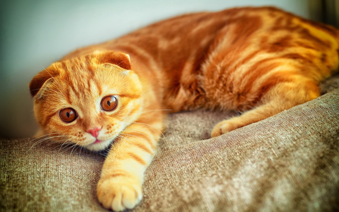 "orange-scottish-fold-cat-breed ""width ="" 600 "" height = ""375"" srcset = ""https://i2.wp.com/gattoblog.it/wp-content/uploads/2018/01/razze-di-gatti-arancioni.jpg?w=1170 2560w, http://purrfectcatbreeds.com/wp-content /uploads/2016/06/orange-scottish-fold-cat-breed-300x188.jpg 300w, http://purrfectcatbreeds.com/wp-content/uploads/2016/06/orange-scottish-fold-cat-breed- 768x480.jpg 768w, http://purrfectcatbreeds.com/wp-content/uploads/2016/06/orange-scottish-fold-cat-breed-1024x640.jpg 1024w, http://purrfectcatbreeds.com/wp-content/ uploads / 2016/06 / orange-scottish-fold-cat-breed-765x478.jpg 765w ""sizes ="" (larghezza massima: 600px) 100vw, 600px"