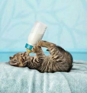 gato tomando leche en biberon 4