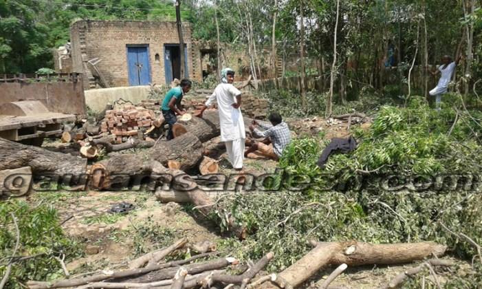 एसओ ने दो हजार रूपये में कटवा दिए शीशम और नीम के पेड़