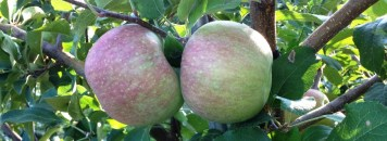 Apple-Picking
