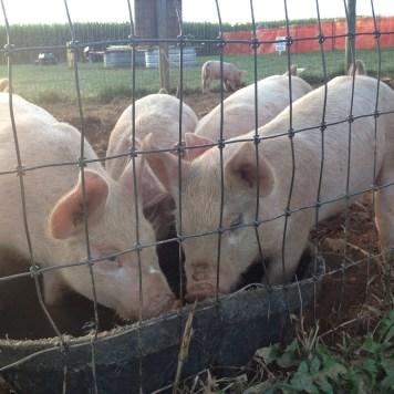 Festival pigs