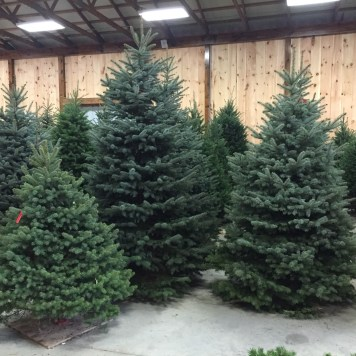 Type Of Christmas Trees.Christmas Trees Gaver Farm Llc