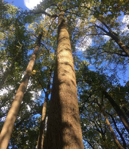Oct 24 Huge pines near Ellicott City MD