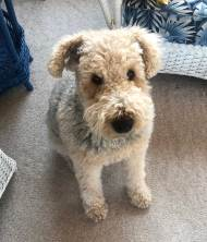 April 11 Jack the Airedale in Dorset ON
