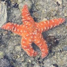 Jan 25 Starfish in the tidepools