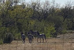 Dec 17 Zebras? In Texas?