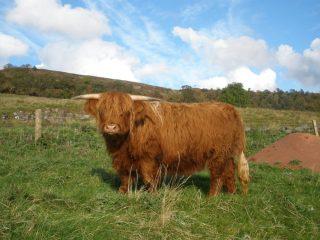 Our Highland Cow, Merida