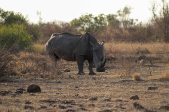 The Big Five: Rhino