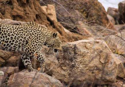 The Big Five: Leopard