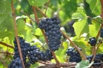 Pinot Noir, 23 August