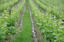 Slopes of Sauvignon Blanc