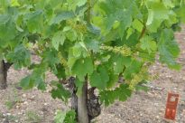 Merlot at Haut-Brion, 11 June 2013