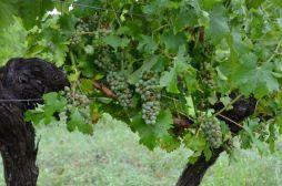 Sauvignon Blanc on old vines battered