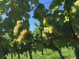 2015-Bauduc-white-harvest-01