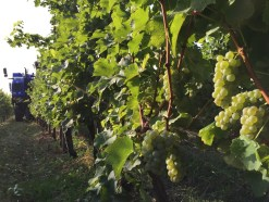 2015-Bauduc-white-harvest-20