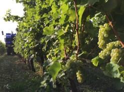 2015-Bauduc-white-harvest-20
