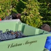 Chateau Margaux, Harvest 2010, Cabernet Sauvignon.