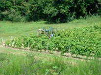 Trimming the young vines in 2007.