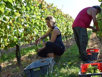 Cremant de Bordeaux has to be picked into crates, by law.