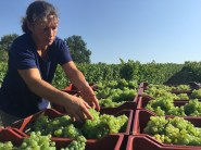 Bauduc 2016 harvest - hand picked white. Nelly with Semillon for our sparkling crémant.