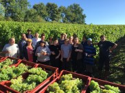 Bauduc 2016 harvest - hand picked white. Some of the team picking Semillon for our sparkling crémant.