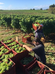 Bauduc 2016 harvest - hand picked white. Daniel with Semillon for our sparkling crémant.