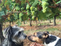 Margaux and Pavie decide when to pick