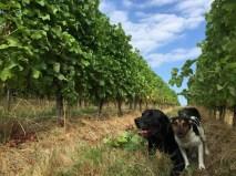 Dry ground, lush vines, three dogs