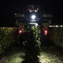 Straddling the vine