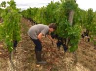 Tom tasting grapes - Merlot