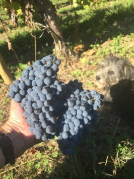 Cabernet bunches - large ones