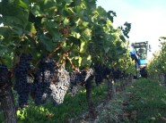 Merlot about to be harvested