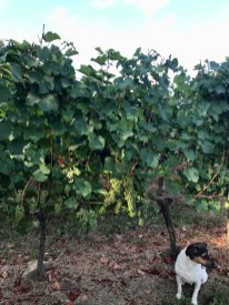 Chardonnay, 12 August