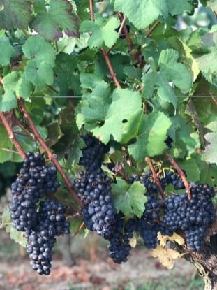 Pinot Noir, 28 August
