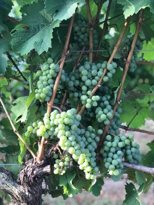 Riesling, 12 August