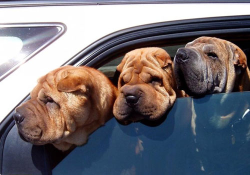Travel With Pet By Car