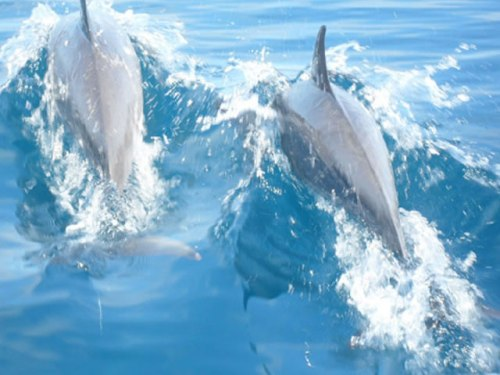 Dolphins At The Natewa Bay, Fiji